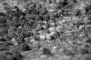 Szyszki sosny zwyczajnej (Pinus sylvestris L.)