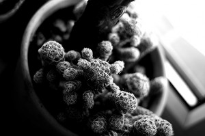 Mammillaria fragilis